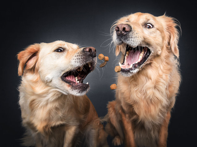 Golden Retrievers. (Photo by Vieler Photography/Caters News Agency)