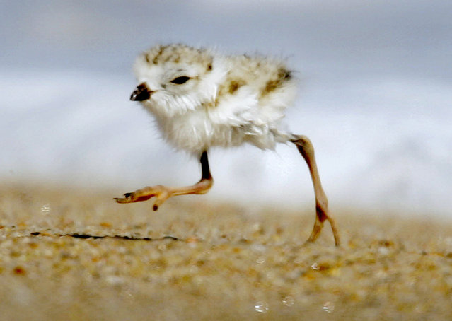 "In this July 12, 2007 file photo, a two-day-old piping plover runs along a beach in the Quonochontaug Conservation Area in Westerly, R.I. A court fight to protect the piping plover, a bird listed as ""threatened"" under the federal Endangered Species Act, is holding up a $207 million plan to replenish sand along a 19-mile stretch of shoreline on New York's Fire Island. The sand was eroded during Superstorm Sandy. (Photo by Steven Senne/AP Photo)"