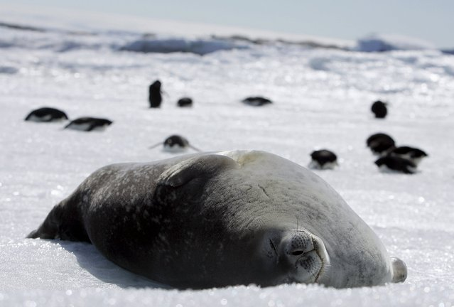 A Weddell seal lies atop ice at Cape Denison, Commonwealth Bay, East Antarctica in this January 1, 2010 file photo. Russia has again thwarted attempts to create the world's largest ocean sanctuary in Antarctica, the final country opposing the protection of a vast swathe of rich waters from fishing after a revised international plan won support from China. (Photo by Pauline Askin/Reuters)