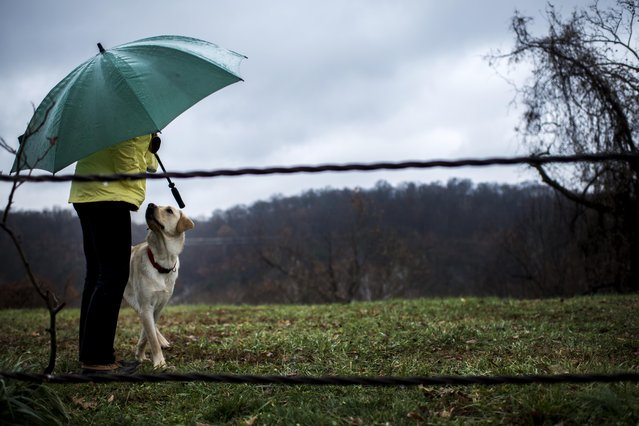On a rainy morning in the Palisades neighborhood, Labrador, Ricky Bobby, walks over to his owner, Katie Malone, while playing tug of war on a park path in Washington, DC, Tuesday, December 2, 2014. (Photo by Melina Mara/The Washington Post)