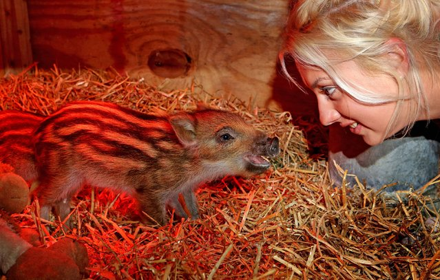 Jo Shirley, a keeper at Whipsnade Zoo in Bedfordshire, UK, alongside three wild boar piglets, May 15, 2013. The four week old sisters, Dotty, Hettie and Gertie, were taken into the care when they were just a few days old after their mum had an extra large litter and was unable to give them the attention they needed. Keeper Jo Shirley looks after the tiny triplets day and night, feeding them around the clock. (Photo by Chris Radburn/PA Wire)