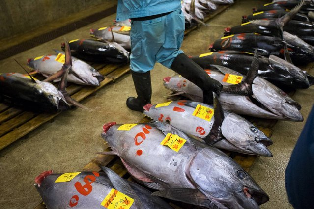 Fresh tuna are on display at the Tsukiji fish market before the New Year's auction in Tokyo January 5, 2015. (Photo by Thomas Peter/Reuters)