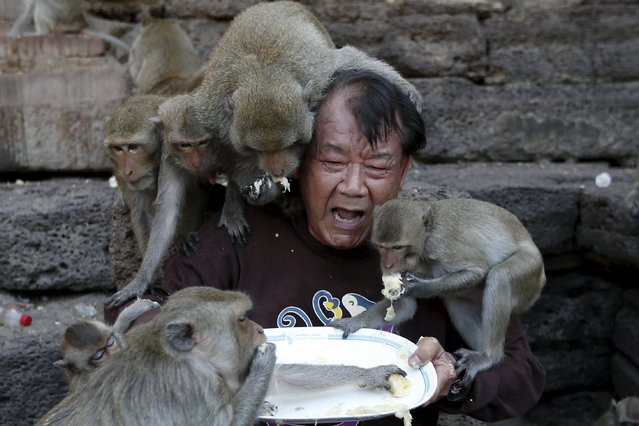 Long-tailed macaques eat fruits from a plate held by festival organizer Yongyuth Kitwattananusorn during the annual Monkey Buffet Festival at the Pra Prang Sam Yot temple in Lopburi, north of Bangkok, Thailand November 29, 2015. (Photo by Jorge Silva/Reuters)