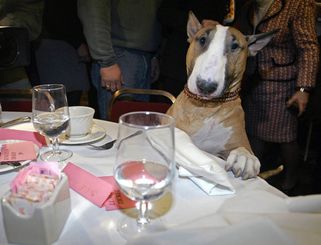 Unlikely top dog Rufus, a tan-and-white bull terrier and America's top dog after winning Best in Show in the Westminster Kennel Club show, stands over a table at Sardi's restaurant in New York, in this Wednesday, February 15, 2006. (Photo by Shiho Fukada/AP Photo/File)