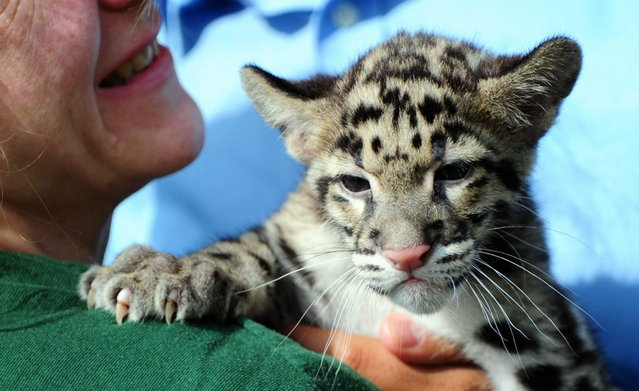 A zoo-keeper holds a clouded leopard baby at the Berlin Tierpark, on July 12, 2013. Its mother Kinsha gave birth to clouded leopard twins on 15 April, 2013. (Photo by Daniel Reinhardt/AFP Photo/Dpa)