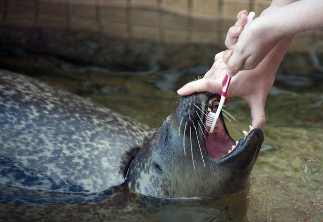 Volunteer Samantha Emmert brushes the teeth of LuSeal, a harbor seal, during a show August 7, 2010 at Woods Hole Science Aquarium in Woods Hole, Massachusetts. The aquarium, which features non-releasable seals, fish and animals of the Northeast and Middle Atlantic waters, and touch tanks where you may find lobsters, tautogs, quahogs, horseshoe crabs, spider crabs, sea stars (starfish), and hermit crabs, attracts thousands of tourists during the summer months. (Photo by Don Emmert/AFP Photo)