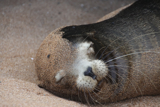 Galapagos seal. (Photo by Frank Skokoski)