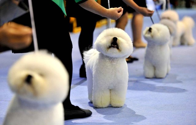 Breeders prepares his frisé dogs for the judging ring at the Seoul FCI International Dog Show, on September 1, 2013. (Photo by Truth Leem/AFP Photo)