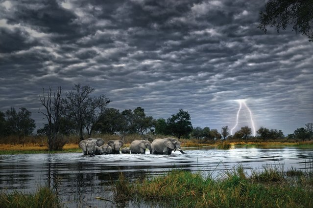 A family of elephants cross a river under dark skies as forked lightning strikes in the distance. (Photo by Alex Bernasconi)