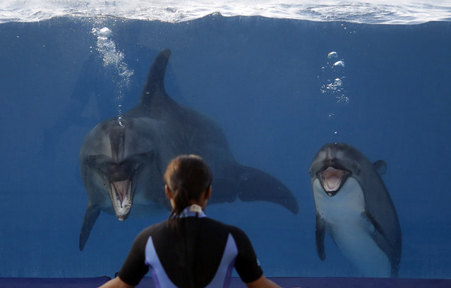 In this Wednesday, September 18, 2013 photo, two dolphins perform in a tank at Okichan Theater of the Okinawa Churaumi Aquarium in Motobu, on the southern island of Okinawa, Japan. Okinawa is Japan's southernmost prefecture and more than 300,000 foreign tourists visit to Okinawa every year. (Photo by Eugene Hoshiko/AP Photo)
