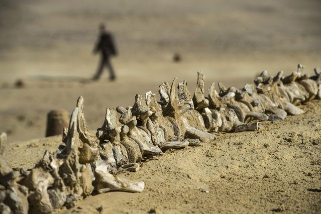 A picture taken on January 14, 2016 shows a marine organism at the Wadi el-Haitan Fossil and Climate Change Museum in Fayoum, 60 km south of the Egyptian capital Cairo. (Photo by Khaled Desouki/AFP Photo)