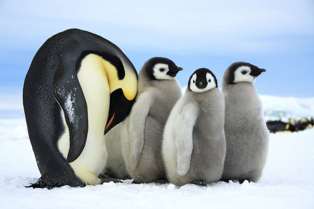 Three baby emperor penguins and their mother. (Photo by Dafna Ben Nun/Caters News)