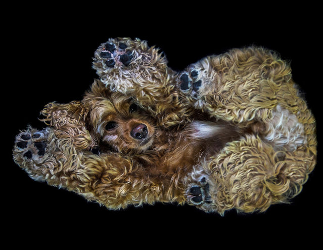 A Cocker Spaniel taken from underneath on December 2016 in VA, Canada. Forget the cats, itÌs just raining dogs! A creative duo have come up with an innovative way to raise money for animal welfare; photographing dogs as youÌve never seen them before. Professional photographer Jason Kenzie and designer Tania Ryan have created a unique set of images from the underside of dogs, named The Underdogs Project. The project will be featured as a 2017 calendar, with each month belonging to a quirky canine. (Photo by The Underdogs Project/Barcroft Images)