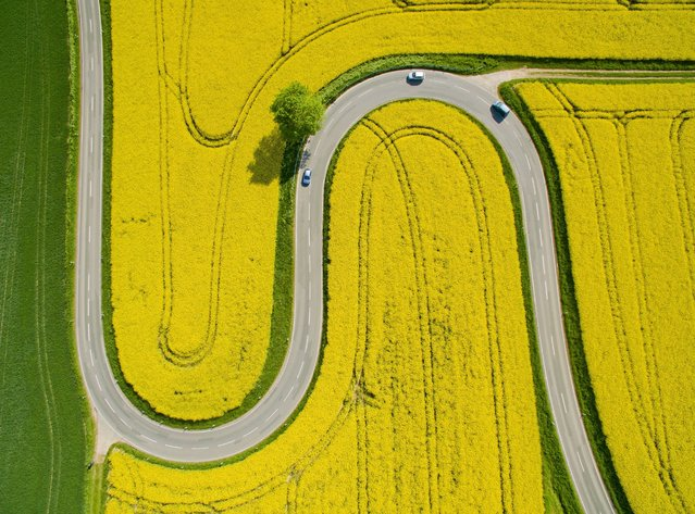 Aerial view taken on May 12, 2016 shows cars driving on the winding L401 country road past rapeseed fields near Nienstedt close to Bad Muender am Deister, central Germany. (Photo by Julian Stratenschulte/AFP Photo/DPA)