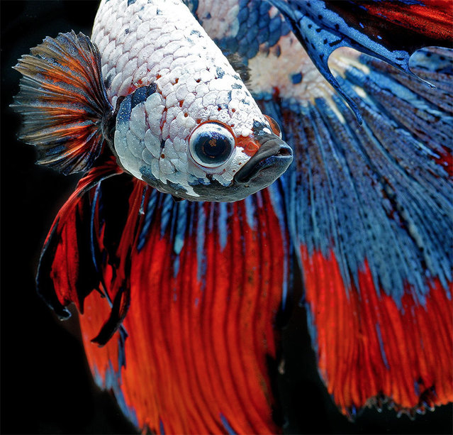 Siamese Fighting Fish By Visarute Angkatavanich