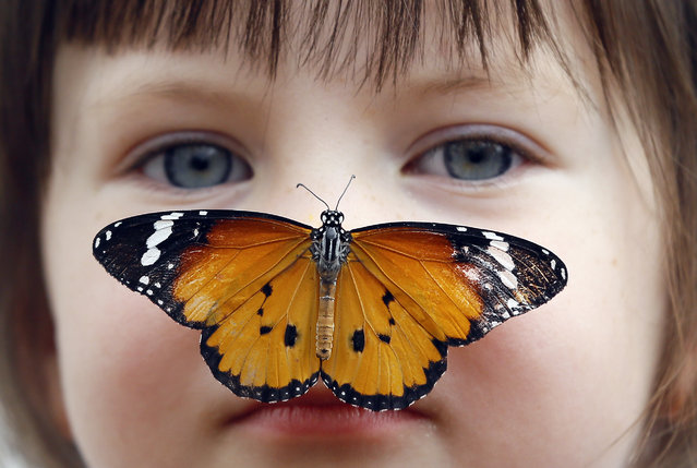 """Georgia Ball Keely, 4, holds still as a Danaus Chrysippus or """"plain tiger"""" butterfly lands on her nose during a media opportunity at the Natural History Museum in London, Tuesday, March 31, 2015. Some hundreds of live tropical butterflies will fill the butterfly house for the returning exhibition called """"Sensational Butterflies"""" open at the museum from April 2 until September 13. (Photo by Kirsty Wigglesworth/AP Photo)"""