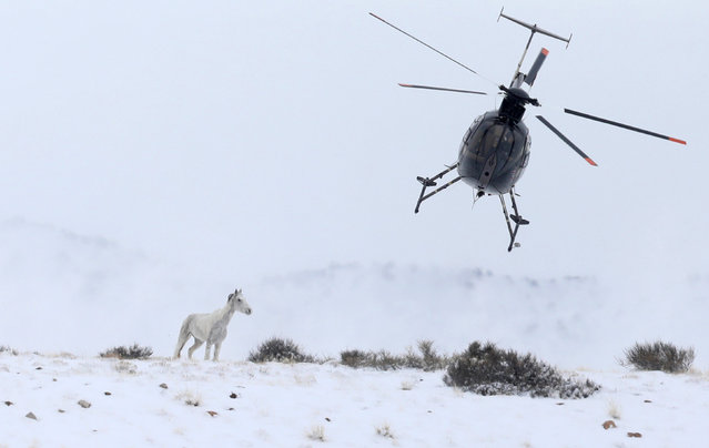 A wild horse is herded into corrals by a helicopter during a Bureau of Land Management round-up outside Milford, Utah, U.S., January 7, 2017. (Photo by Jim Urquhart/Reuters)