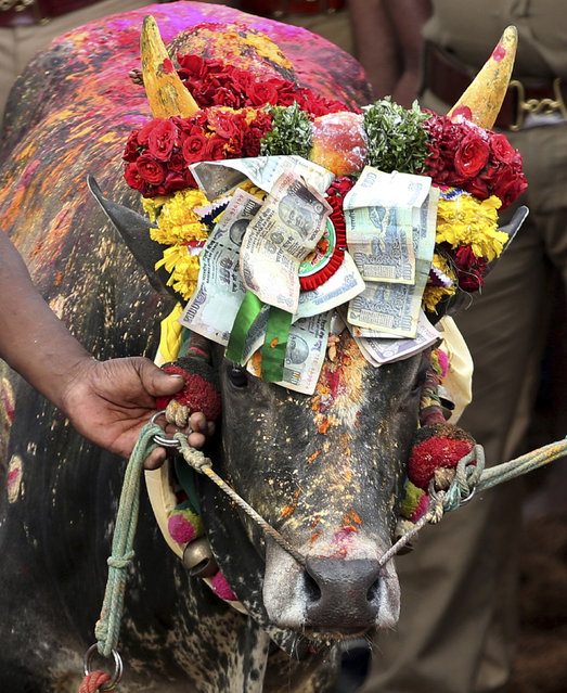 In this Wednesday, January 16, 2019, photo, a bull is decorated with currency notes before taking part in the rituals during a traditional bull-taming festival called Jallikattu, in the village of Palamedu, near Madurai, Tamil Nadu state, India. (Photo by Aijaz Rahi/AP Photo)
