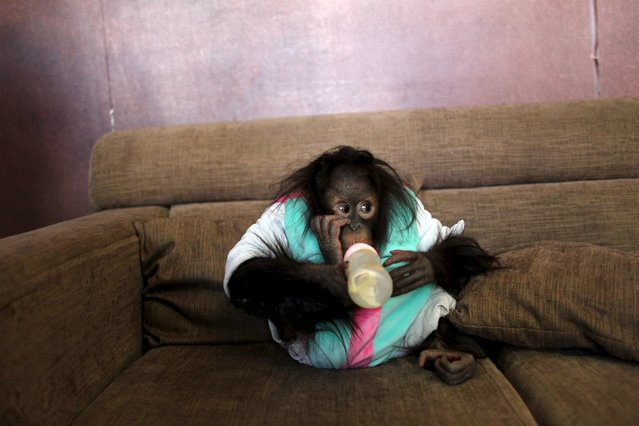 An orangutan drinks milk on a couch at a studio, in Kunming, Yunnan province, February 14, 2016. (Photo by Wong Campion/Reuters)
