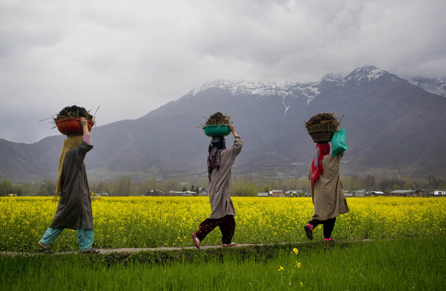 Kashmiri women carry cow dung to be used as fertilizer as they walk past a mustard field on the outskirts of Srinagar, Indian controlled Kashmir, Saturday, April 4, 2015. Mustard is the main winter crop in the Kashmir valley. (Photo by Dar Yasin/AP Photo)