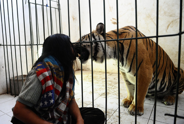 Abdullah Sholeh, 33, sits in the floor next to 6-year-old Bengal tiger Mulan Jamilah's  enclosure on January 20, 2014 in Malang, Indonesia. (Photo by Robertus Pudyanto/Getty Images)
