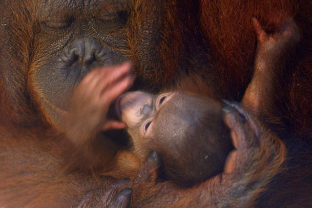 Photo taken in Pasuruan on February 24, 2014 shows ten-day-old male baby orangutan Dana being cradled by his mother Dina at the Taman Safari Indonesia zoo in Pasuruan town in Indonesia's eastern Java island. Indonesia's top Islamic clerical body has issued a religious fatwa against the illegal hunting and trade in endangered animals in the country, which the WWF hailed on March 5 as the world's first. (Photo by Juni Kriswanto/AFP Photo)