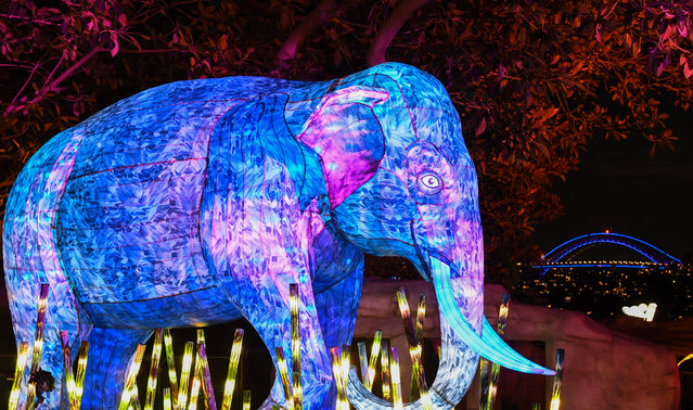 An Asian elephant lantern sculpture is illuminated with the Harbour Bridge lit blue in the background during the media preview of Vivid Sydney at Taronga Zoo on May 19, 2019 in Sydney, Australia. (Photo by James D. Morgan/Getty Images)