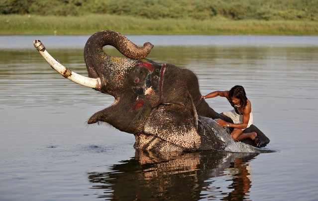 A mahout splashes water on his elephant in the river Sabarmati on a hot summer day in Ahmedabad, India, May 20, 2015. (Photo by Amit Dave/Reuters)