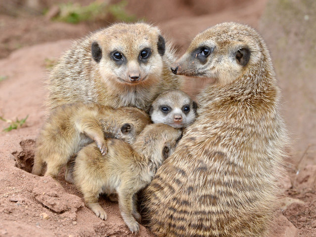 Three meerkat cubs cuddle to adult animals in their outdoor enclosure at the zoo in Erfurt, Germany, Wednesday, March 19, 2014. The meerkat babies were born on Feb. 21, 2014 at the zoo. (Photo by Jens Meyer/AP Photo)