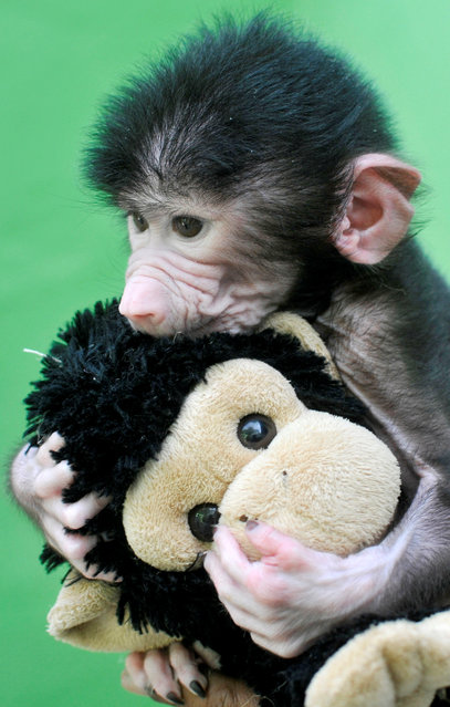 A 23-day-old hamadryas baboon plays with a stuffed toy at Sri Chamarajendra Zoological Gardens after the baboon, according to a zoo doctor, was abandoned by its mother after its birth on April 4, in the southern city of Mysuru, India, April 28, 2016. (Photo by Abhishek N. Chinnappa/Reuters)
