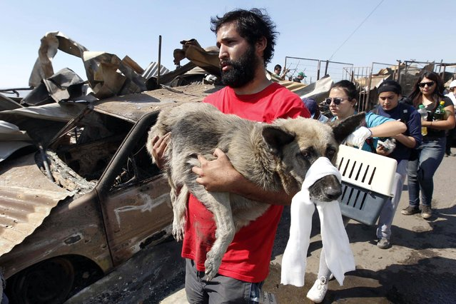 A resident carries an injured dog at the location where a forest fire burned several neighbourhoods in the hills in Valparaiso city, northwest of Santiago, April 13, 2014. At least 11 people were killed and 500 houses destroyed over the weekend by a fire that ripped through parts of Chilean port city Valparaiso, as authorities evacuated thousands and used aircraft to battle the blaze. (Photo by Eliseo Fernandez/Reuters)