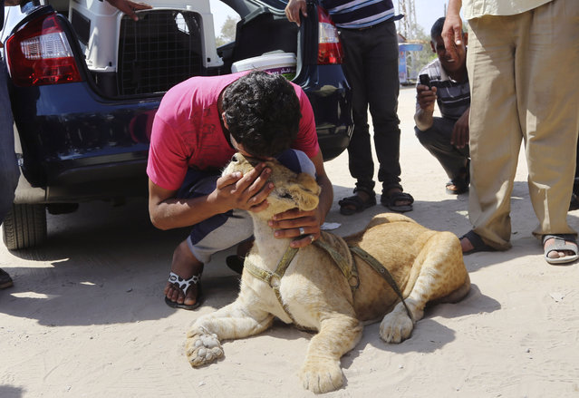 Ibrahim Al-Jamal, 17, kisses Mona, a female lion cub, waiting to evacuate from Gaza to the Erez border crossing between Israel and the Gaza Strip, in Beit Hanoun, in the northern Gaza Strip, Friday, July 3, 2015. (Photo by Adel Hana/AP Photo)