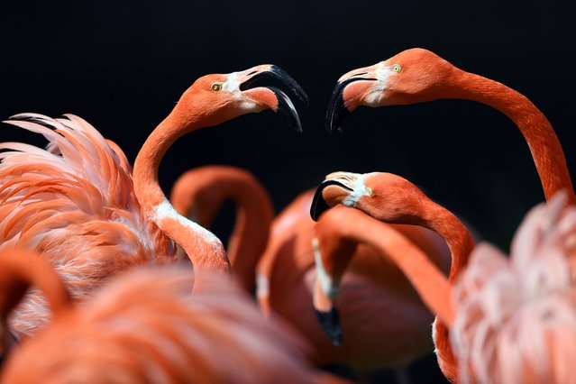 Flamingos stand in the sun in their enclosure at the zoo in Cologne, western Germany, on May 4, 2016. (Photo by Federico Gambarini/AFP Photo/DPA)