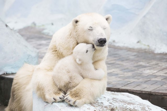 This is the touching moment a polar bear cub snuggles up to mum – and plants a sloppy smacker right on her lips. (Photo by Caters News)