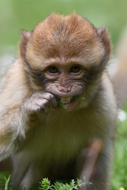 A picture made available 18 May 2014 shows a one-year-old Barbary ape chewing grass on Monkey Hill in Salem, Baden-Wuerttemberg, Germany, 17 May 2014. (Photo by Felix Kaestle/EPA)