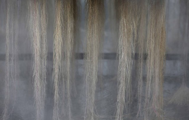 Plants roots are misted with mineral salts at the Plant Advanced Technologies (PAT) company greenhouse in Laronxe near Nancy, Eastern France, June 19, 2015. (Photo by Vincent Kessler/Reuters)