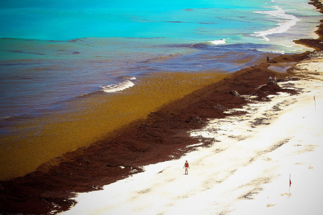 General view of a beach covered with large amounts of seaweed in Puerto Morelos, Quintana Roo state, Mexico, 23 July 2015. The Mexican government has announced a temporary job program to clean Cancun and Riviera Maya beaches of this seaweed, which has started appearing about seven days ago. (Photo by Alonso Cupul/EPA)