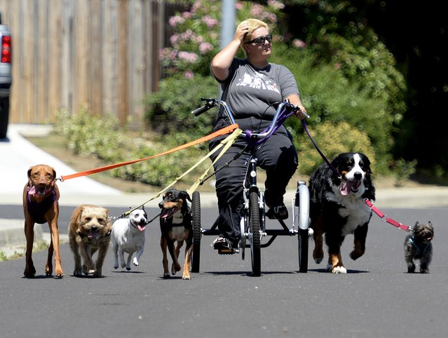 With six dogs in tow, Julie Austin of Fairfield, Calif. and owner of Davinci Canines, peddles her way along Willow Green Way Wednesday, May 18, 2016 in Vacaville, Calif. Austin handles dogs from around Solano County and uses the tricycle when she had a large group because they like to run. Unfortunately she had to cut the today's outing short due to the warm weather. (Photo by Joel Rosenbaum/The Vacaville Reporter via AP Photo)
