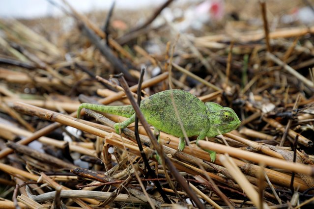 A chameleon is seen on washed-up river cane on a beach along the shore of the Mediterranean Sea as heavy rainfalls hit Israel, in Ashdod, Israel on January 9, 2020. (Photo by Amir Cohen/Reuters)