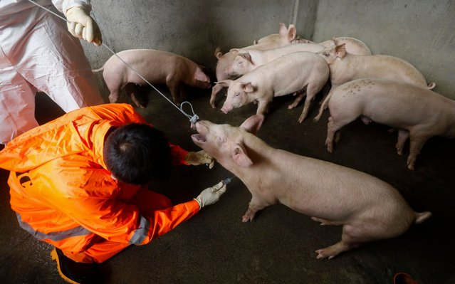 A city veterinarian (L) takes a blood sample from a pig in a backyard piggery to test for African Swine Fever (ASF) in Quezon City, east of Manila, Philippines, 17 September 2019. The mayor of Quezon City on 14 September confirmed that cases of ASF have been found in one area of the city and that measures are in place to stop the spread of the disease. Meanwhile, the country's Department of Agriculture said on 16 September that the outbreak of ASF in the provinces of Bulacan and Rizal have been contained following protocols implemented to combat the disease. (Photo by Rolex Dela Pena/EPA/EFE/Rex Features/Shutterstock)