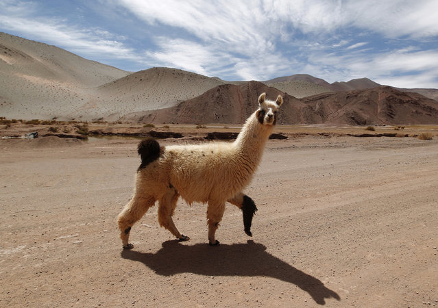 A llama crosses a road near the salt flat Tolillar, Salta Province, October 27, 2012. (Photo by Enrique Marcarian/Reuters)