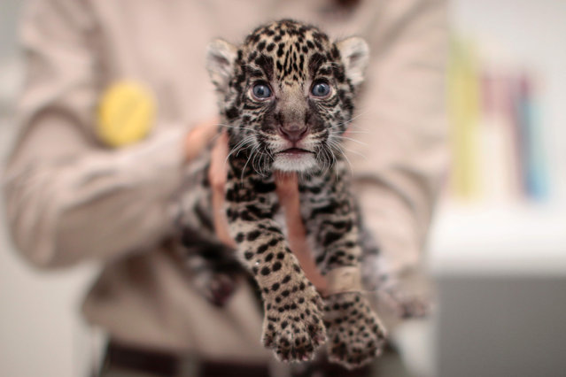 "A jaguar cub (Panthera onca) is held in arms at the ""Reino Animal"" zoo in Teotihuacan, Mexico state, on June 16, 2016. Three jaguars were born in captivity last May 23 within an endangered species conservation programme. (Photo by Pedro Pardo/AFP Photo)"
