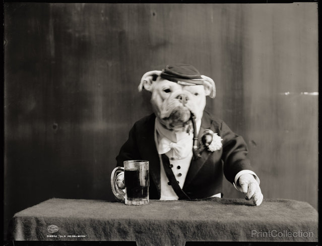 Old Heidelberg, Dog with Pipe, 1905. (Photo by Detroit Publishing Company)