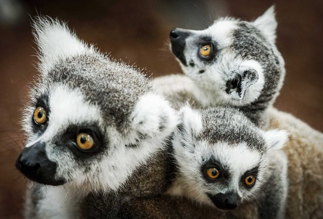 Lemurs wait in anticipation as they are treated with special cake during the celebration of the 45th birthday of Zoo Apenheul in Apeldoorn, The Netherlands, 12 July 2016. (Photo by Remko De Waal/EPA)