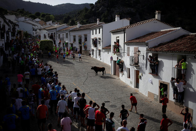 "Runners watch a bull, named Argelino, during the ""Toro de Cuerda"" (Bull on Rope) festival at Plaza de Espana square in Grazalema, southern Spain, July 18, 2016. (Photo by Jon Nazca/Reuters)"