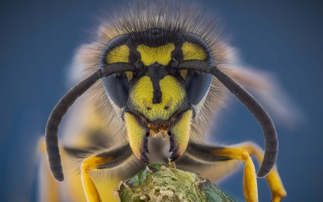 Wasp. (Photo by Kutub Uddin/Caters News)