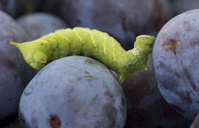 A large sphinx moth caterpillar climbs over a bin of freshly picked plums on a farm near Roseburg, Ore., on September 23, 2012. (Photo by Robin Loznak)