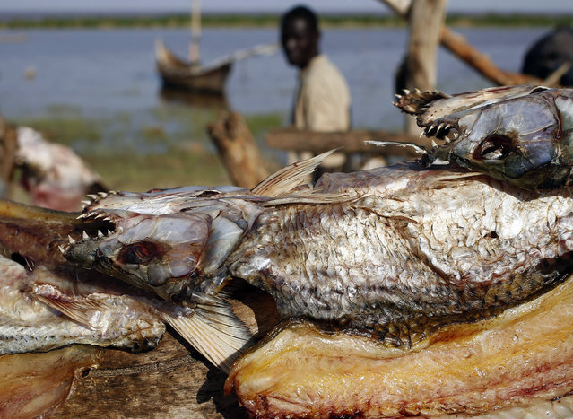Dried fishes are pictured at a Turkana fishing camp on the western shore of Lake Turkana, close to Todonyang, near the Kenya-Ethiopia border in northern Kenya September 24, 2014. (Photo by Goran Tomasevic/Reuters)