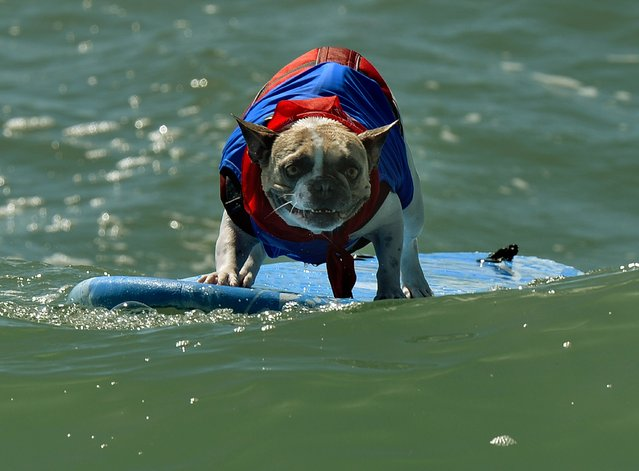 A Surfer Dog rides a wave in the small dog division during the 6th Annual Surf Dog competition at Huntington Beach, California on September 28, 2014. (Photo by Mark Ralston/AFP Photo)