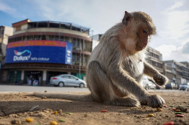 This photograph taken on June 20, 2020 shows a longtail macaque in the town of Lopburi, some 155 km north of Bangkok. Residents barricaded indoors, rival gang fights and no-go zones for humans. Welcome to Lopburi, an ancient Thai city overrun by monkeys super-charged on junk food, whose population is growing out of control. (Photo by Mladen Antonov/AFP Photo)